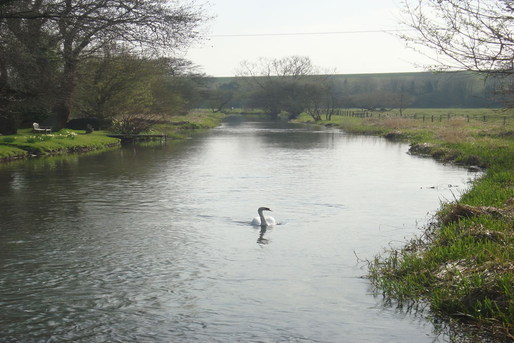 Swan on River Avon